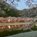 さくら、桜、SAKURA・・・!